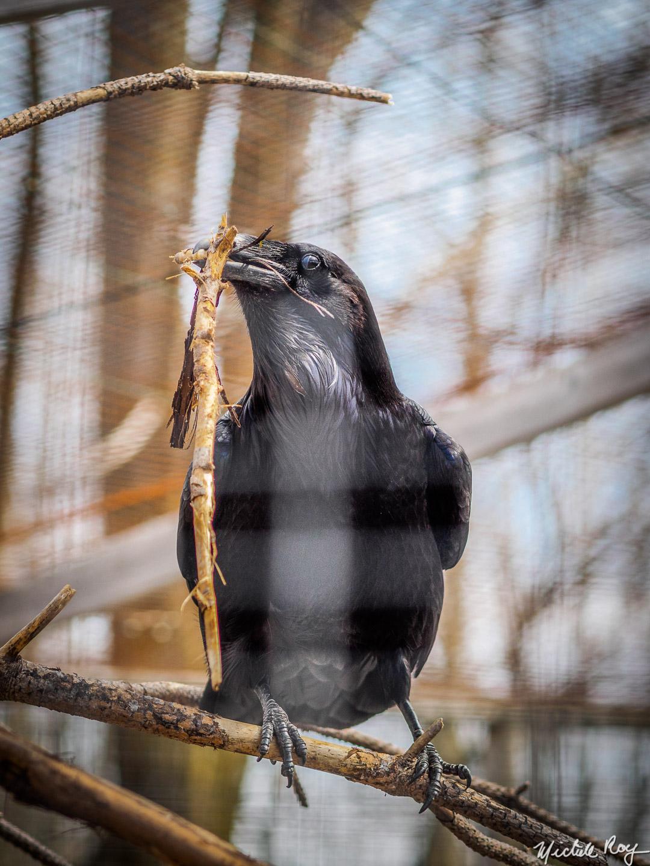 Corbeau / Raven
