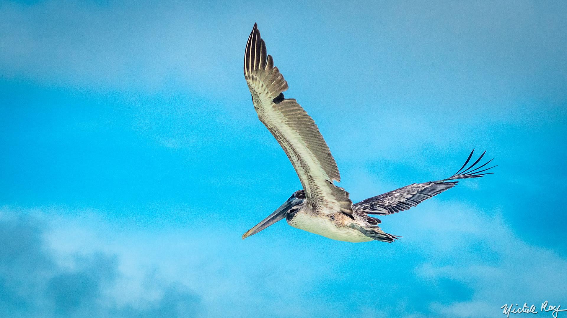 Pélican en croisière / Pelican crusing