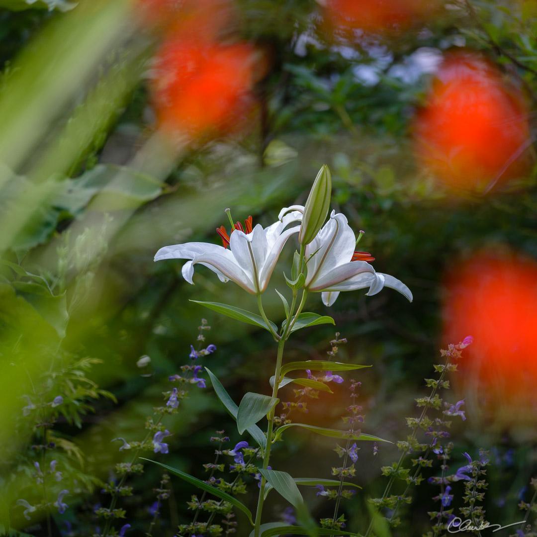 Le dernier lys blanc / The last white lily