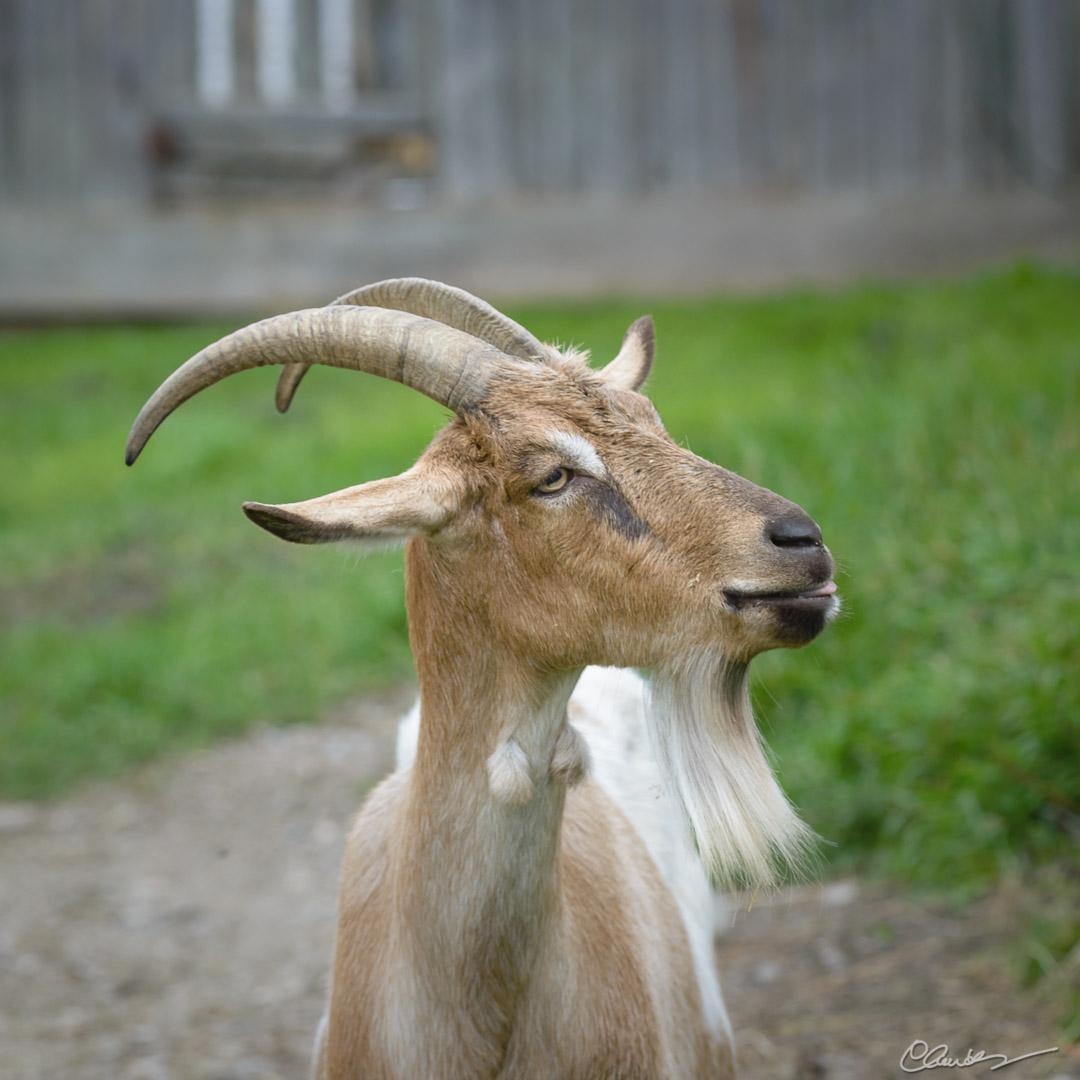 Barbichette / Goatee