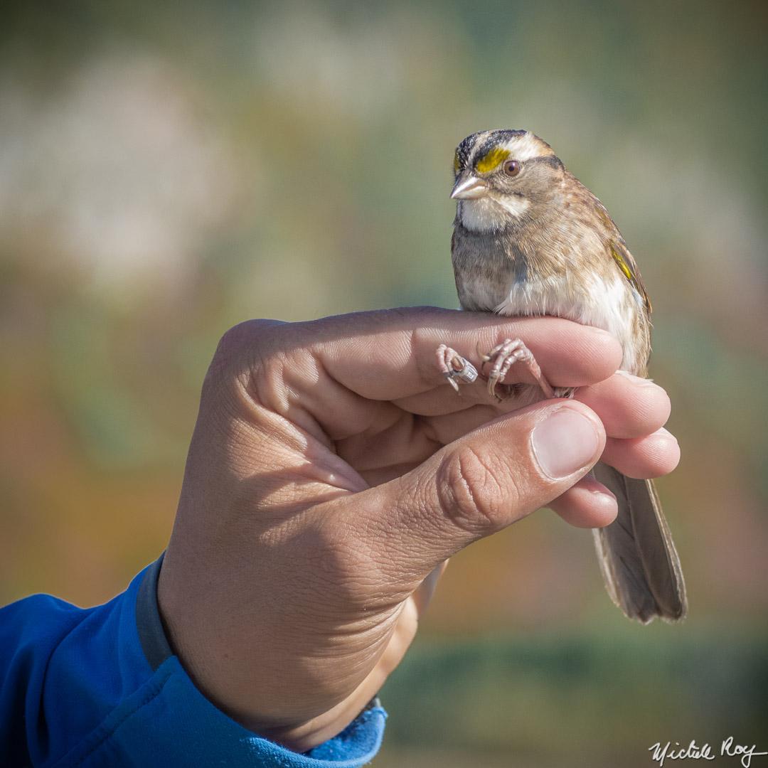 Station de baguage d'oiseaux / Bird-banding station