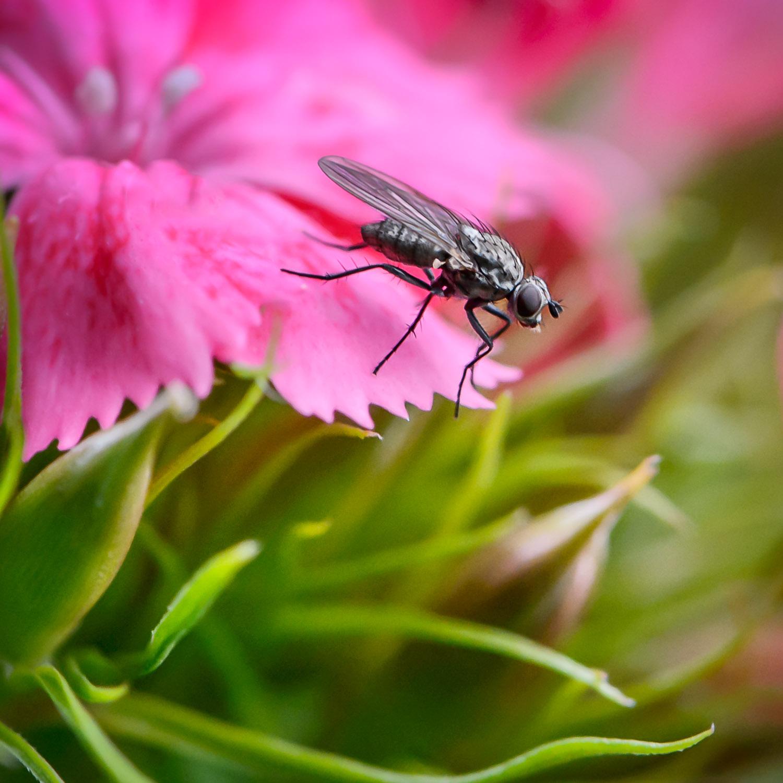 Une mouche aux aguets sur un oeillet de poète de mon jardin de fleurs