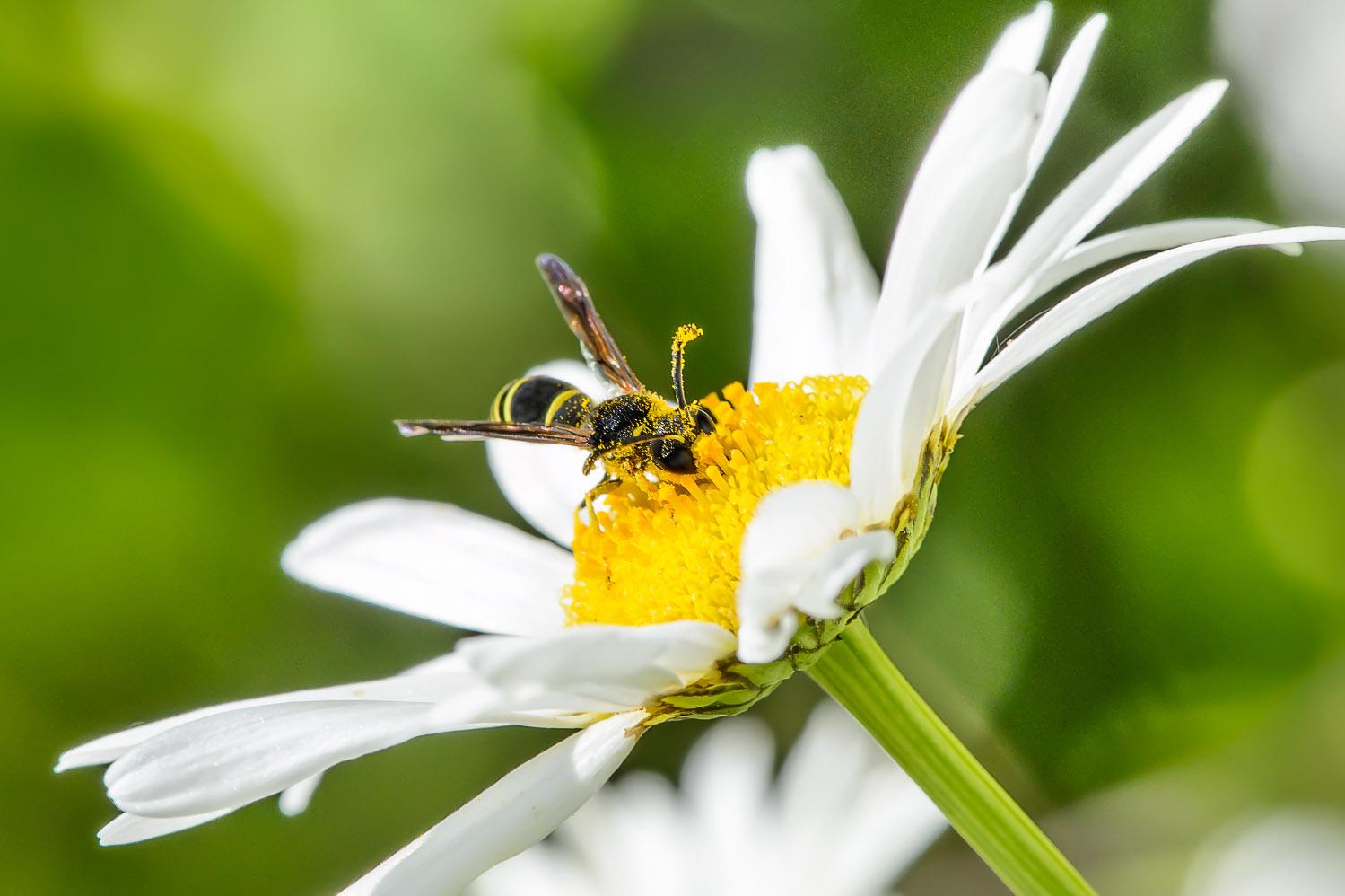 Quant à cette guêpe, elle se vautre dans le pollen!