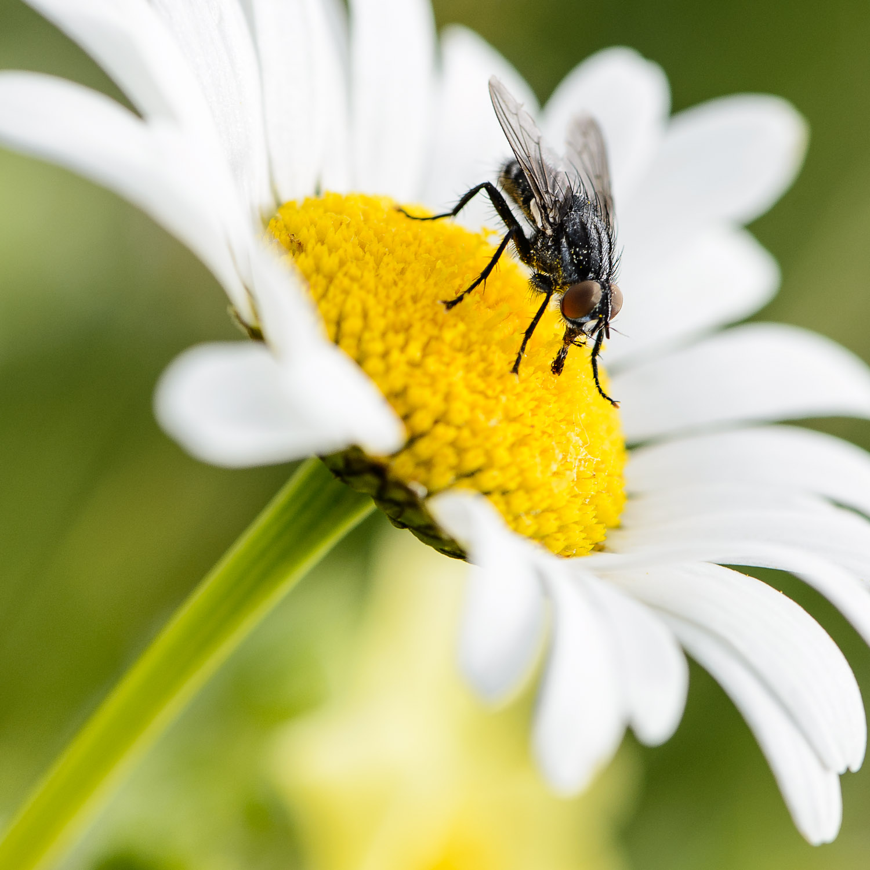 La même mouche qui décide de se nourrir de pollen!