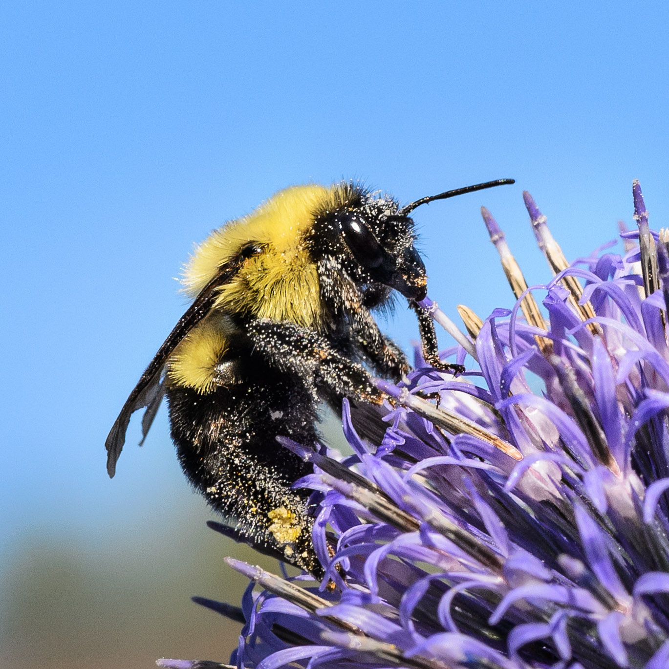 Nul doute que ce bourdon est un pollinisateur efficace!
