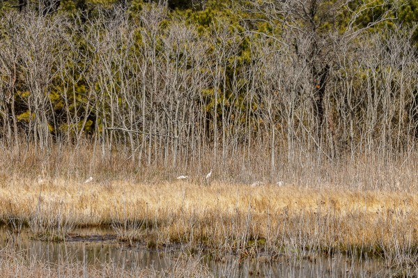 Le paysage du côté des marais de Chincoteague sur l'Île d'Assateague en Virginie. On aperçoit quelques aigrettes au loin dans le paysage.