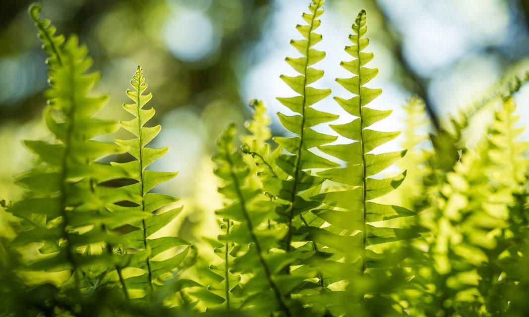 Acadia – Fougères lumineuses / Acadia – Luminous ferns