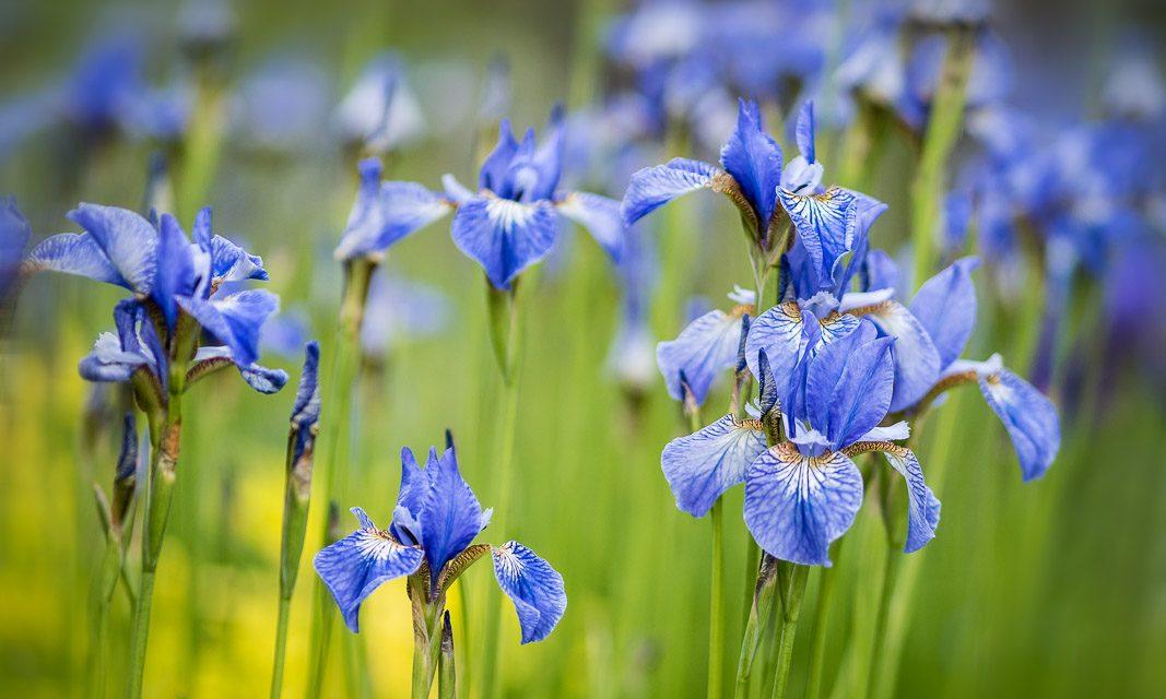 Un brin de Gaspésie en deux temps : 1 – Les Jardins de Métis / Bits of Gaspesie : 1 – Reford Gardens