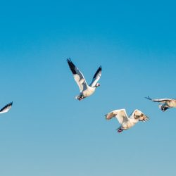 Grande Oie Des Neiges / Greater Snow Goose