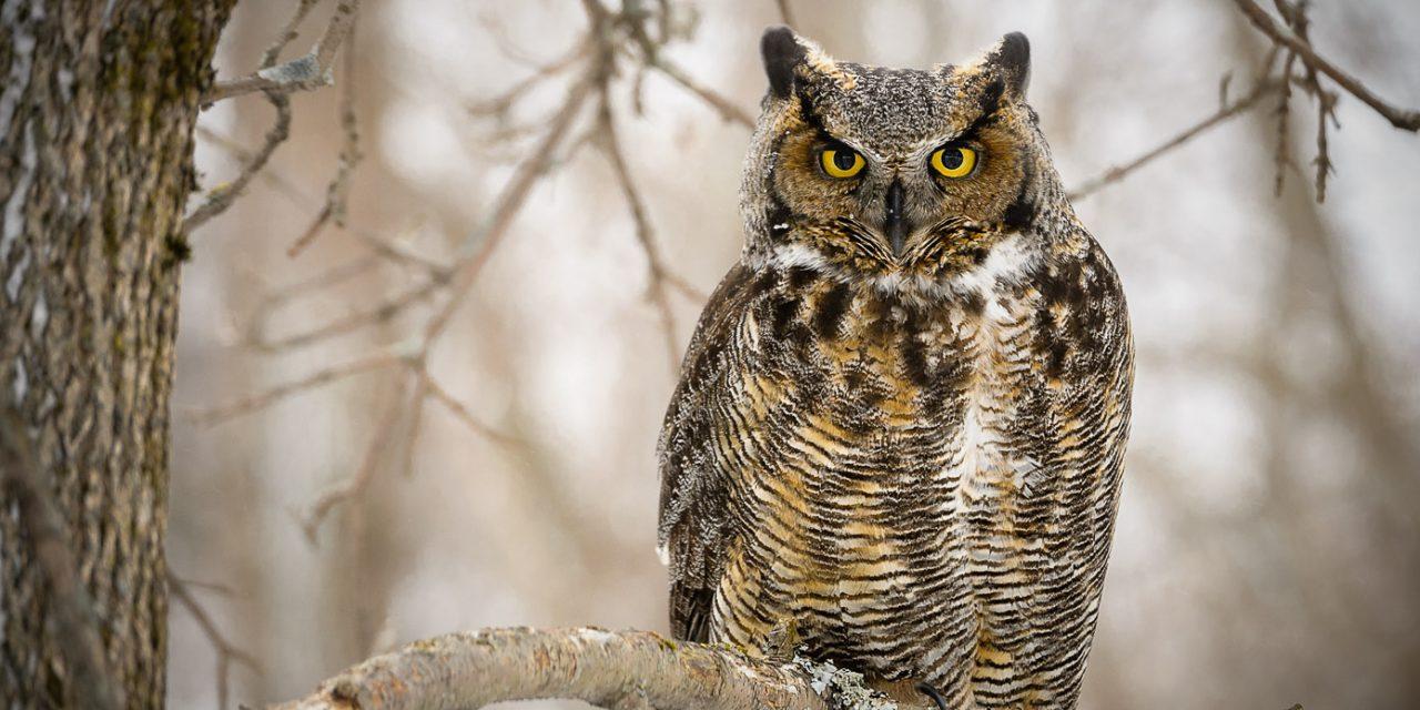 Dans la série «Une photo et son histoire»: Le Grand Duc au Domaine de Maizerets / The Great Horned Owl at Maizerets