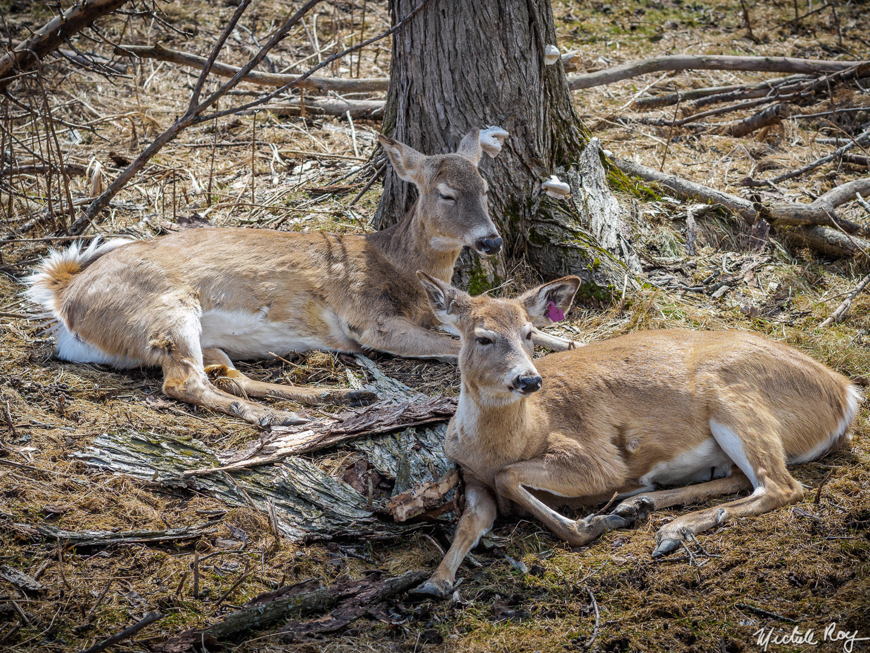 Chevreuils / Deers