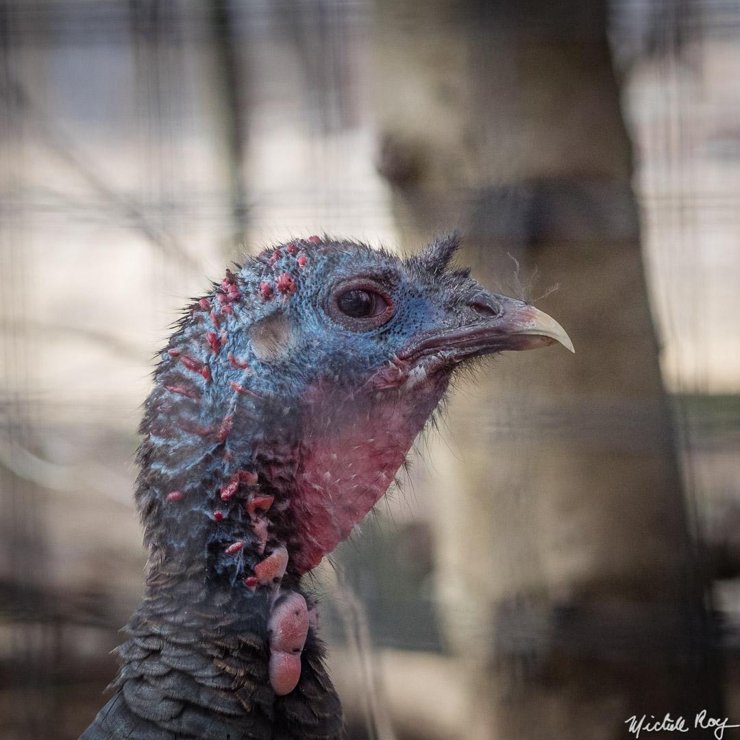 Dinde sauvage / Wild turkey