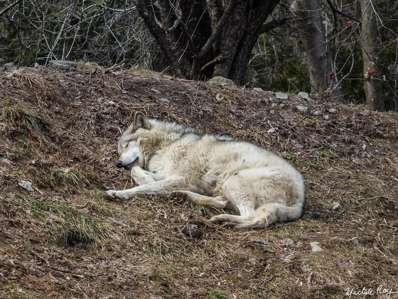 Loup / Wolf