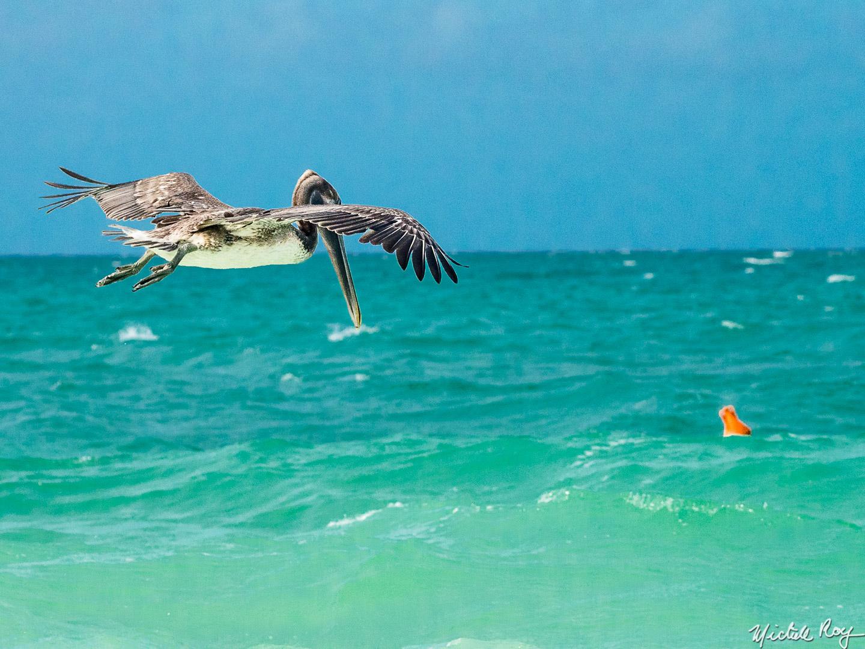Pélican au décolage / Pelican take off