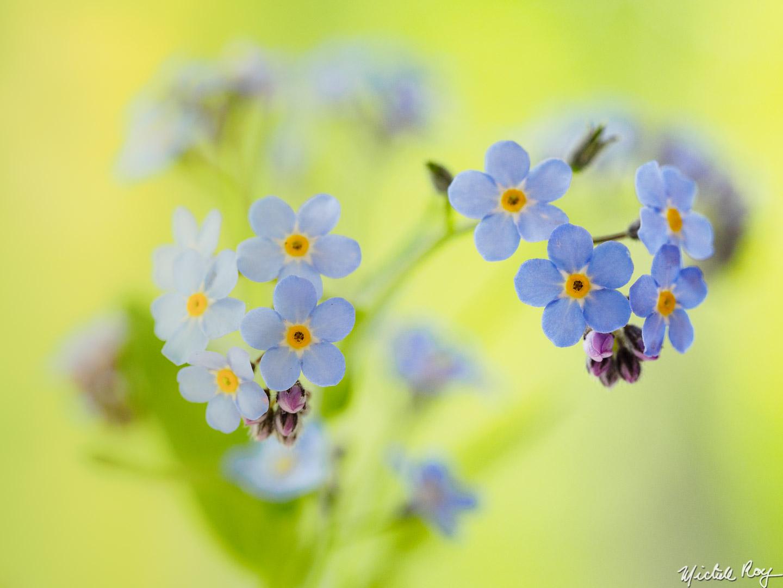 Myosotis - Fleurs