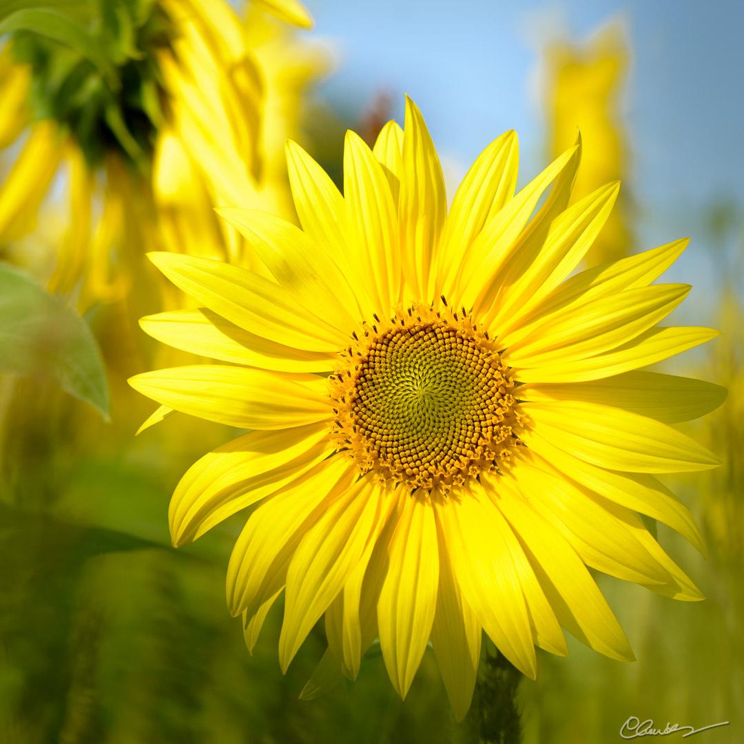 En plein soleil (1) / Facing the sun (1)