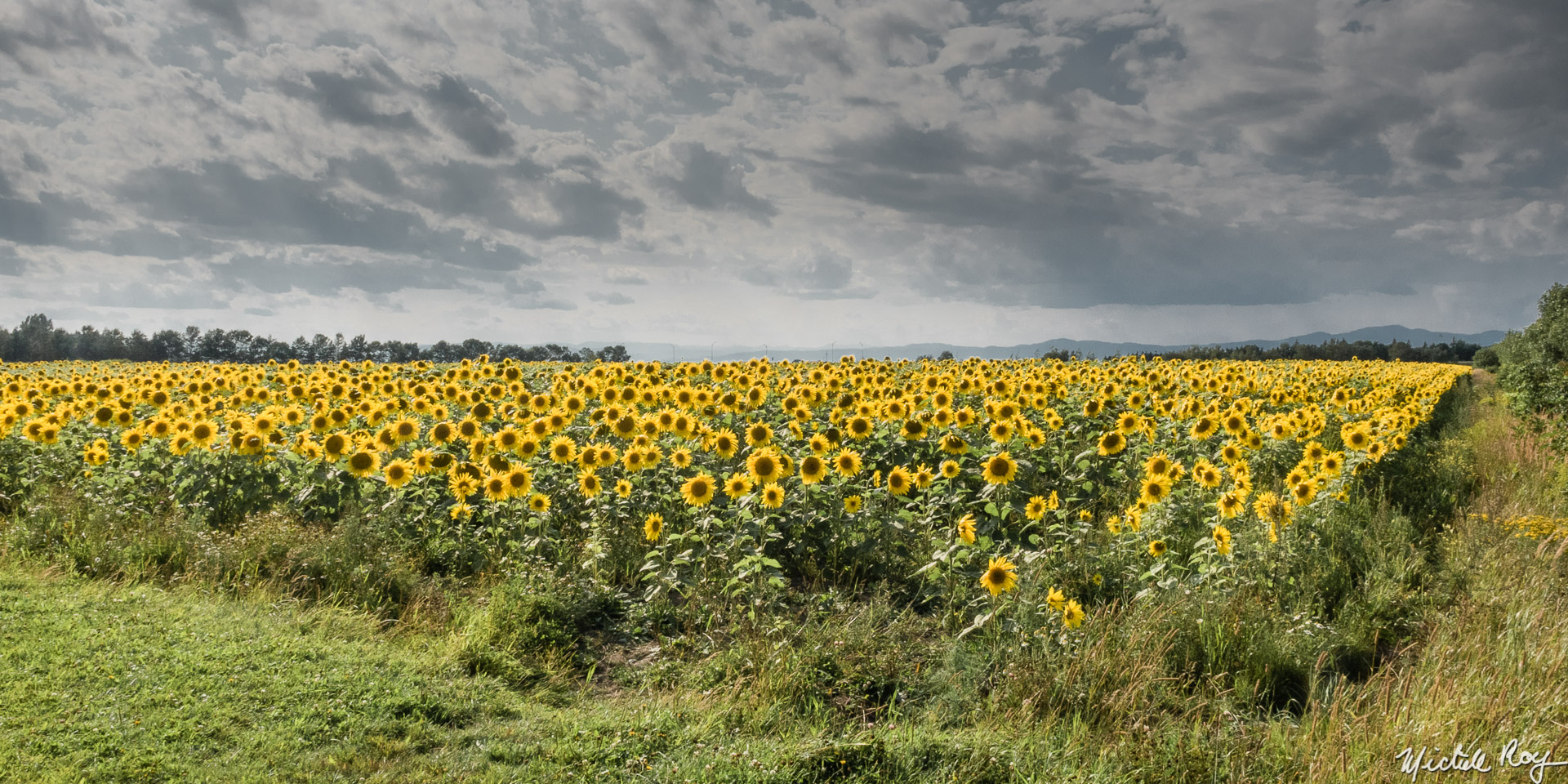 Tournesol biologique / Organic Sunflower