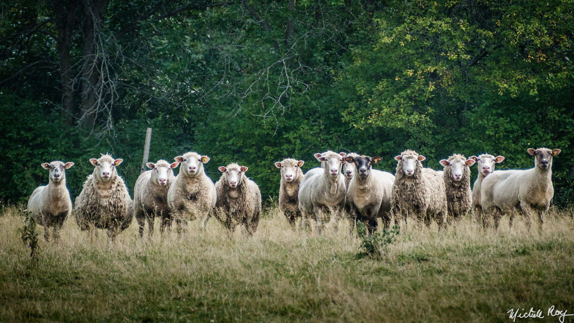 Moutons au pacage / Sheep grazing