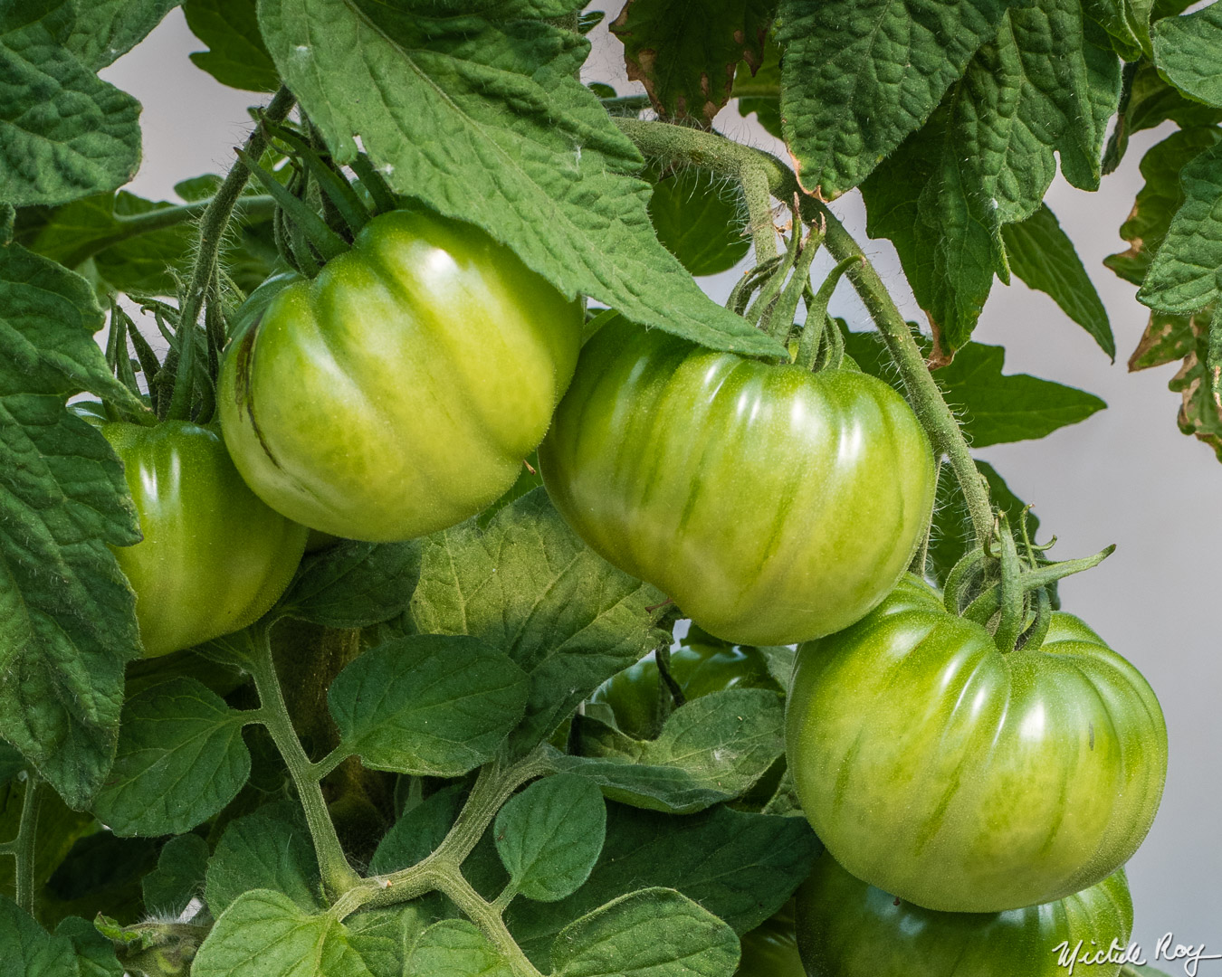Tomates / Tomatoes