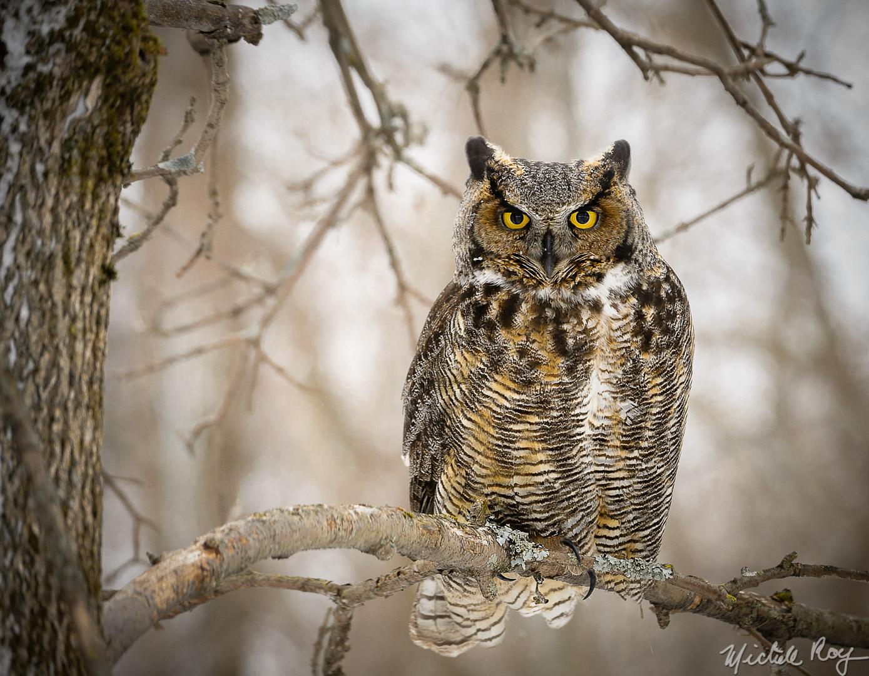 Le grand duc d'Amérique / The great horned owl