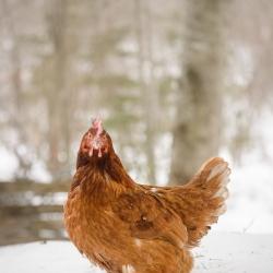 La poulette brune